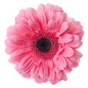 8801682-ピンクのガーベラの花のクローズ-アップ。白で隔離されます。